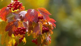 Leaves And Cherries Hd Widescreen Wallpapers