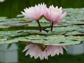 Wallpaper Nature Beauty lotus