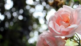 Light Pink Roses Bokeh Iphone Panoramic Wallpaper