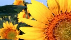 Sunflower Nebraska Wallpaper