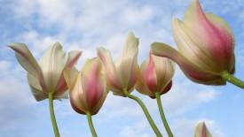 Rulips from Down Under Flower