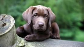 Black Dog Cute Hd Widescreen Desktop Wallpaper