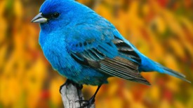 Blue Bird hd Wallpaper