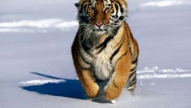 Charge Siberian Tiger