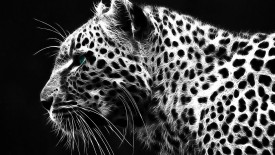 Cheetah Hd Widescreen Desktop Wallpaper