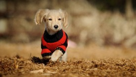 Cute Dog Hd Wdescreen Desktop Wallpaper