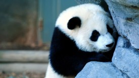 Cute Panda Wallpapers HD Widescreen