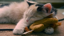 Cute Sleeping Cat Hd Widescreen Desktop Wallpaper