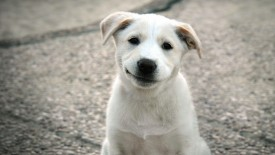 Cute White Puppy Hdtv 1080p Desktop Wallpaper