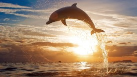 Dolphin Jumping Wallpaper HD Widescreen