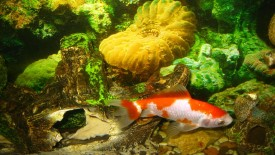 Goldfish In Aquarium Wallpaper