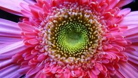 Macro Flower Macro iMac Wallpaper