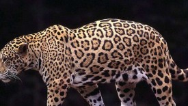 Powerful Leopard Wallpaper Hd Widescreen