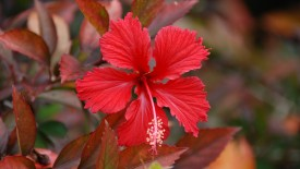 Red Hibiscus Flower HD Widescreen Wallpapers