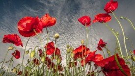 Red Poppies Wallpaper HD Widescreen