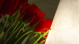Red Rose Wallpaper HD Widescreen