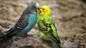 Spectacular love birds