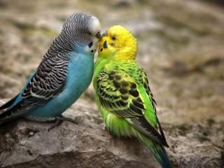 Spectacular love birds