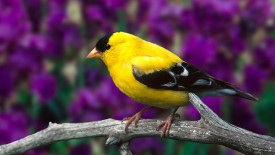 Yellow Bird Picture