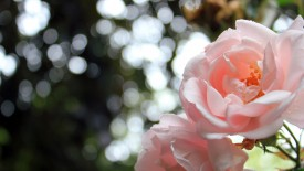 Light Pink Roses Bokeh Iphone Panoramic Wallpaper