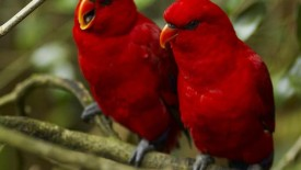 lovely red birds