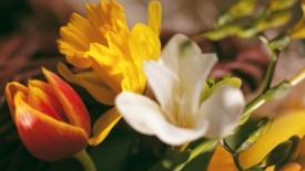 Mix Tulips HD Widescreen Wallpapers Flower