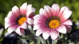 Morning Wew Flower