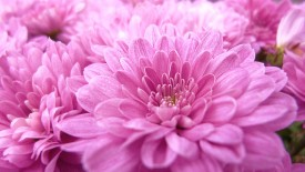 Pink Flower Close up Scenic 1080p HD Wallpaper