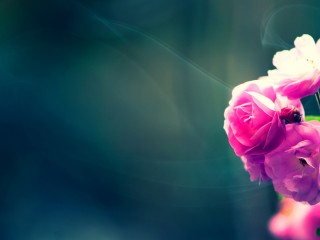Pink Fresh Flower HD 1080p Wallpapers Download