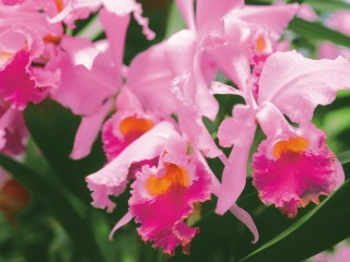 Pink Orchid Flower HD Widescreen Wallpapers