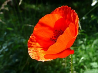 Red Flower Close up HD Widescreen Desktop Wallpaper