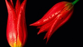 Red hot Tulips Flower