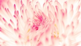 Spring Daisy Flower Macbook pro Wallpaper HD