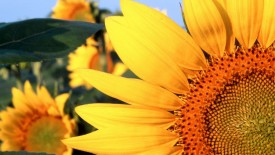 Sunflower Nebraska Wallpaper