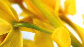 Yellow Lily Flower HD Widescreen Wallpapers