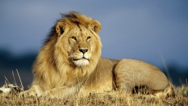 Beautiful Wallpapers Of A Big Lion High Definition Animals Wallpapers