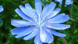 Blue Flower Desktop Wallpapers