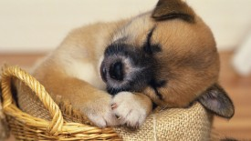 Wallpaper Puppy Sleeping