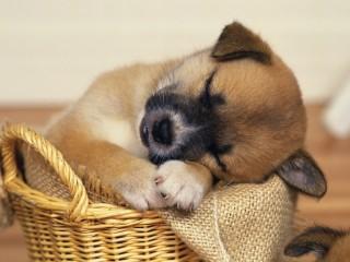 Wallpaper Puppy Sleeping