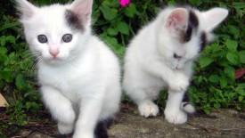 2 loving white cats