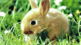 Bunny Animal HD Wallpaper