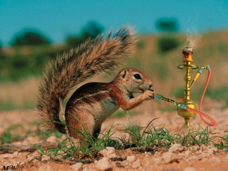 Smoking squirrel