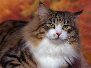 Free Cat Wallpaper, Cute Cat Pictures, Animal Desktop Backgrounds